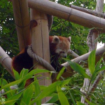 Red panda petit panda sophie s maze - Zoo du jardin des plantes tarifs ...