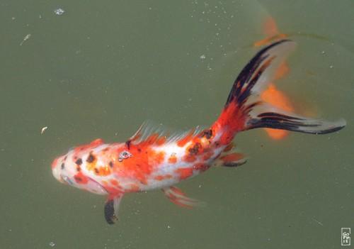 Un poisson rouge tr s mal en point for Poisson rouge japonais