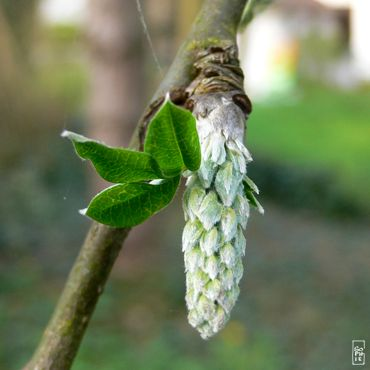 Bud and leaves - Bourgeons et feuilles