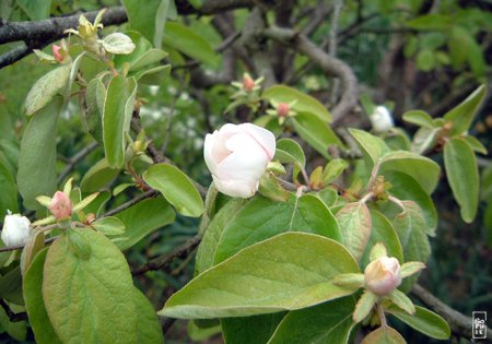 quince tree blossom floraison du coing sophie s maze. Black Bedroom Furniture Sets. Home Design Ideas
