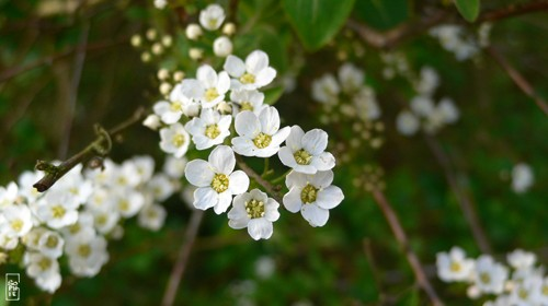 Arbuste Petite Fleur Blanche Map Titecampagne