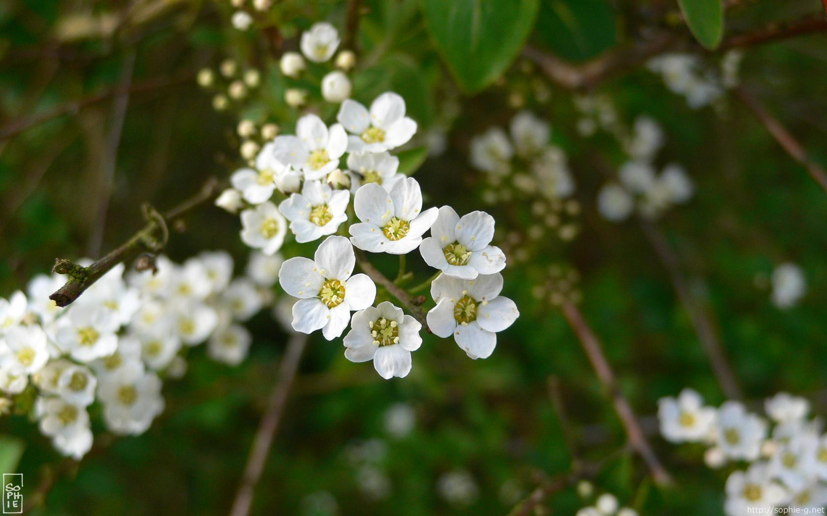 Haie De Troene Jardin : Arbustes fleurs blanches pictures to pin on