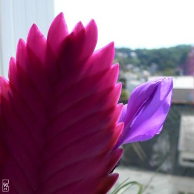 Pink and mauve bromeliad flower fleur de brom liac e rose et mauve sophie - Interieur d une fleur ...