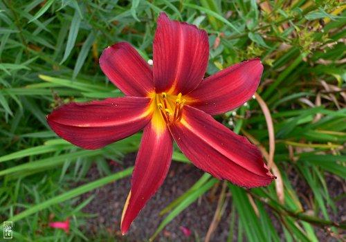Les défis Botaniques de Shiemi :) FleursRouges01