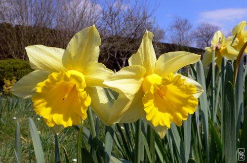 Daffodils - Jonquilles