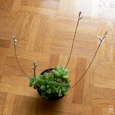 Flowering Succulent Plante Grasse En Fleurs Sophie S Maze