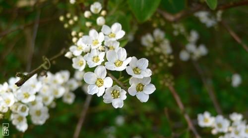 White flowers fleurs blanches sophie s maze - Arbuste petites fleurs blanches ...